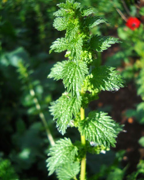ingredient-nettle